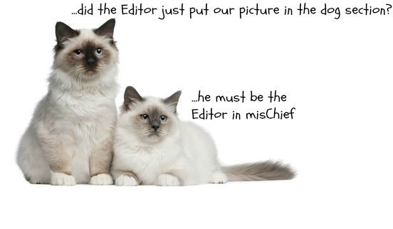 Two birman cats misplaced